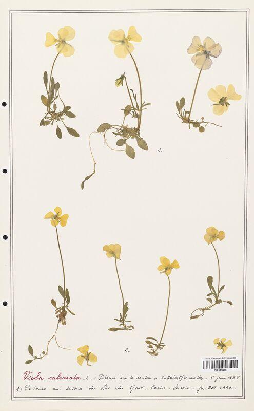 https://bibliotheque-virtuelle.bu.uca.fr/files/fichiers_bcu/Verbenaceae_Viola_calcarata_CLF139300.jpg
