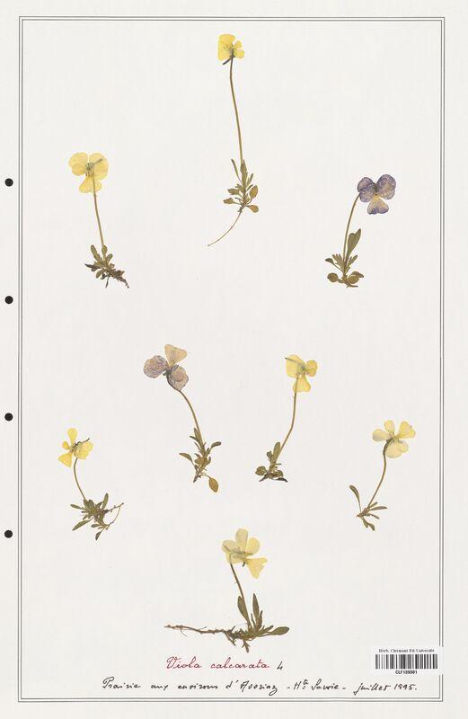 https://bibliotheque-virtuelle.bu.uca.fr/files/fichiers_bcu/Verbenaceae_Viola_calcarata_CLF139301.jpg