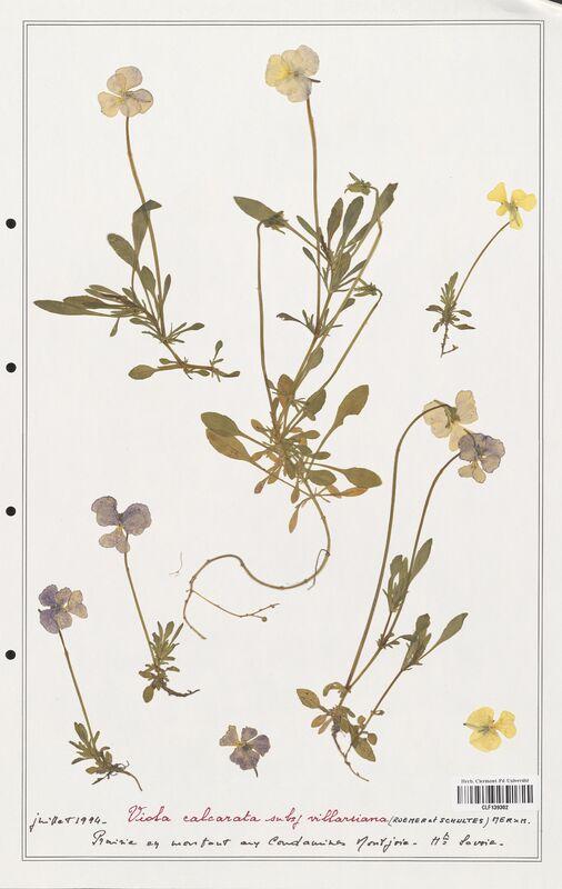 https://bibliotheque-virtuelle.bu.uca.fr/files/fichiers_bcu/Verbenaceae_Viola_calcarata_CLF139302.jpg