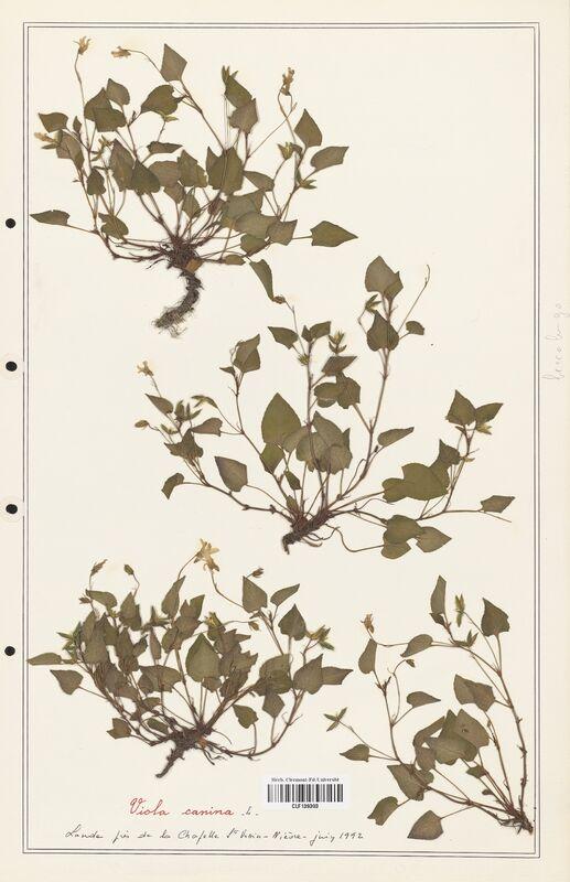 https://bibliotheque-virtuelle.bu.uca.fr/files/fichiers_bcu/Verbenaceae_Viola_canina_CLF139303.jpg