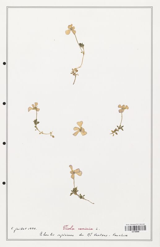 https://bibliotheque-virtuelle.bu.uca.fr/files/fichiers_bcu/Verbenaceae_Viola_cenisia_CLF139306.jpg