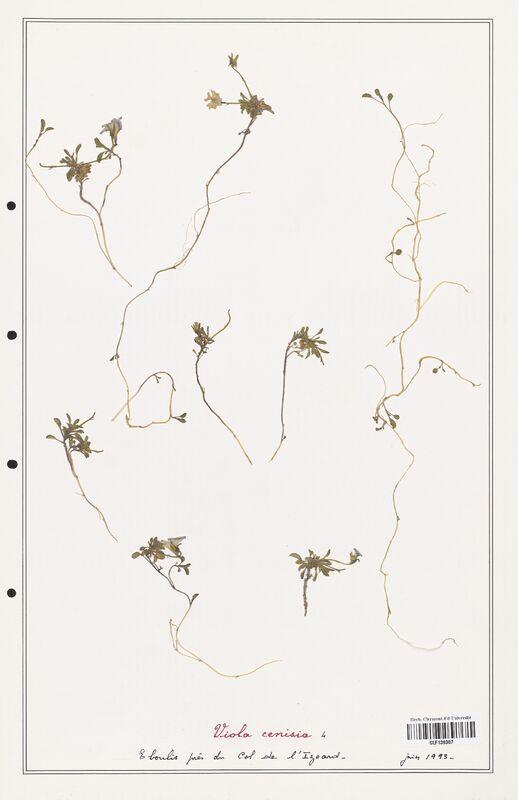 https://bibliotheque-virtuelle.bu.uca.fr/files/fichiers_bcu/Verbenaceae_Viola_cenisia_CLF139307.jpg