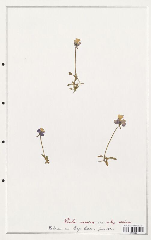 https://bibliotheque-virtuelle.bu.uca.fr/files/fichiers_bcu/Verbenaceae_Viola_corsica_CLF139308.jpg