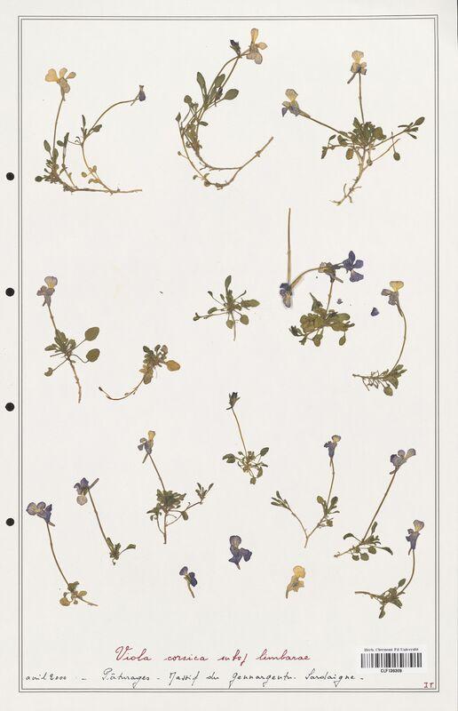 https://bibliotheque-virtuelle.bu.uca.fr/files/fichiers_bcu/Verbenaceae_Viola_corsica_CLF139309.jpg