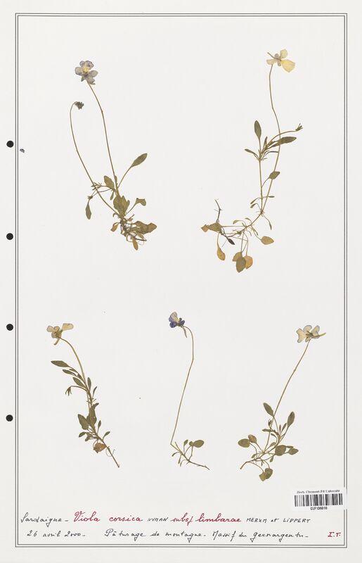 https://bibliotheque-virtuelle.bu.uca.fr/files/fichiers_bcu/Verbenaceae_Viola_corsica_CLF139310.jpg