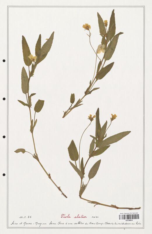 https://bibliotheque-virtuelle.bu.uca.fr/files/fichiers_bcu/Verbenaceae_Viola_elatior_CLF139314.jpg