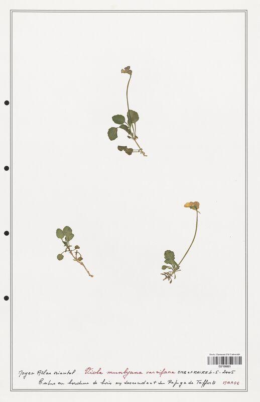 https://bibliotheque-virtuelle.bu.uca.fr/files/fichiers_bcu/Verbenaceae_Viola_munbyana_CLF139321.jpg