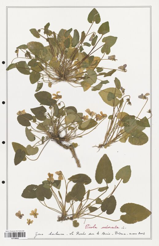 https://bibliotheque-virtuelle.bu.uca.fr/files/fichiers_bcu/Verbenaceae_Viola_odorata_CLF139323.jpg