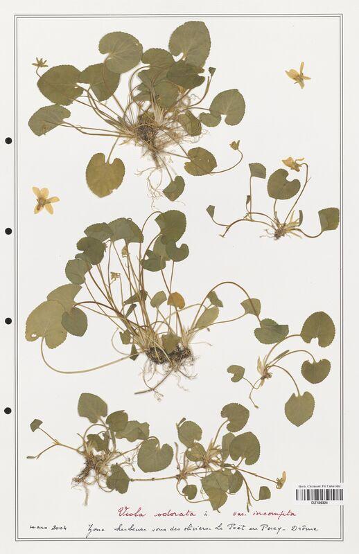 https://bibliotheque-virtuelle.bu.uca.fr/files/fichiers_bcu/Verbenaceae_Viola_odorata_CLF139324.jpg