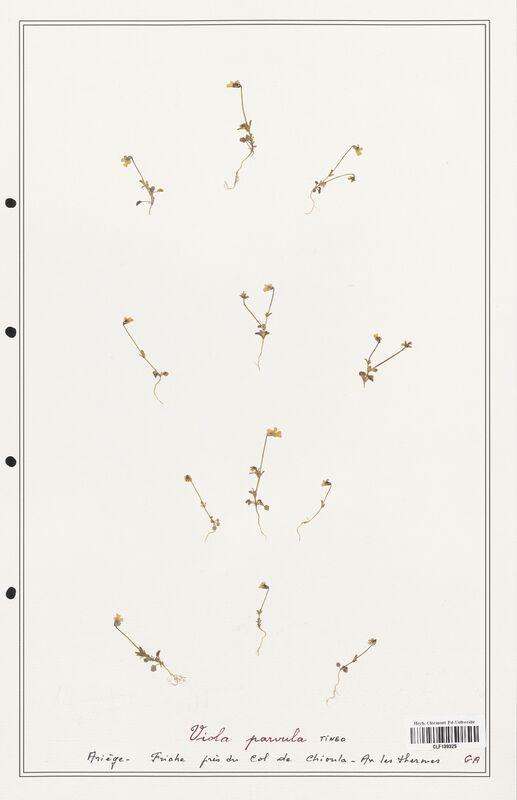 https://bibliotheque-virtuelle.bu.uca.fr/files/fichiers_bcu/Verbenaceae_Viola_parvula_CLF139325.jpg