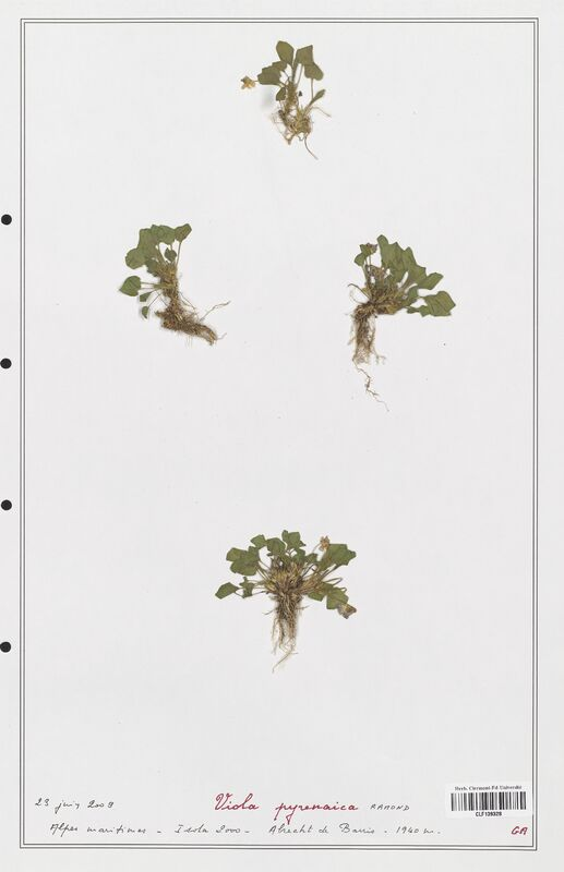 https://bibliotheque-virtuelle.bu.uca.fr/files/fichiers_bcu/Verbenaceae_Viola_pyrenaica_CLF139328.jpg