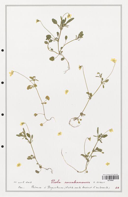 https://bibliotheque-virtuelle.bu.uca.fr/files/fichiers_bcu/Verbenaceae_Viola_reichenbachiana_CLF139330.jpg