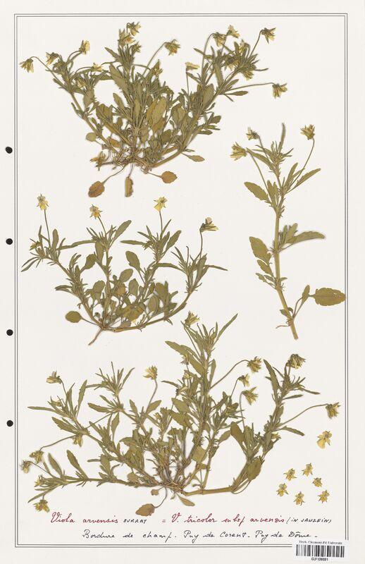 https://bibliotheque-virtuelle.bu.uca.fr/files/fichiers_bcu/Verbenaceae_Viola_tricolor_CLF139331.jpg