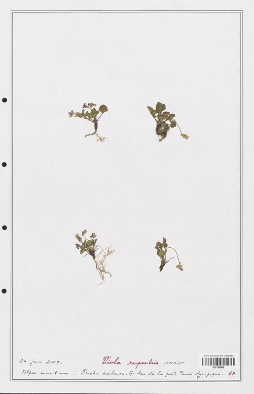 https://bibliotheque-virtuelle.bu.uca.fr/files/fichiers_bcu/Verbenaceae_Viola_rupestris_CLF139332.jpg