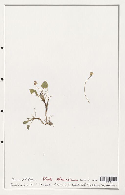 https://bibliotheque-virtuelle.bu.uca.fr/files/fichiers_bcu/Verbenaceae_Viola_thomasiana_CLF139334.jpg