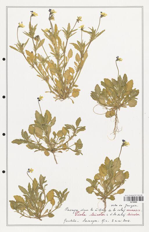 https://bibliotheque-virtuelle.bu.uca.fr/files/fichiers_bcu/Verbenaceae_Viola_tricolor_CLF139335.jpg