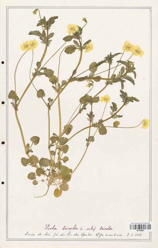 https://bibliotheque-virtuelle.bu.uca.fr/files/fichiers_bcu/Verbenaceae_Viola_tricolor_CLF139337.jpg