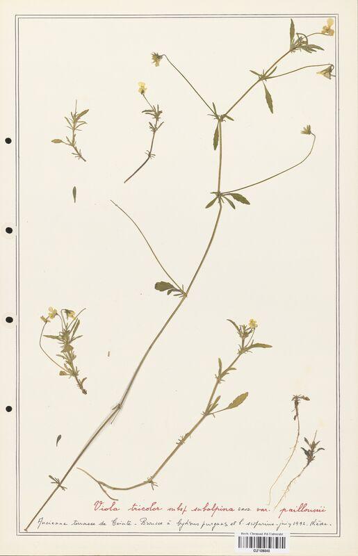 https://bibliotheque-virtuelle.bu.uca.fr/files/fichiers_bcu/Verbenaceae_Viola_tricolor_CLF139340.jpg
