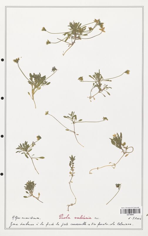 https://bibliotheque-virtuelle.bu.uca.fr/files/fichiers_bcu/Verbenaceae_Viola_valderia_CLF139342.jpg