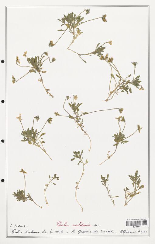 https://bibliotheque-virtuelle.bu.uca.fr/files/fichiers_bcu/Verbenaceae_Viola_valderia_CLF139343.jpg