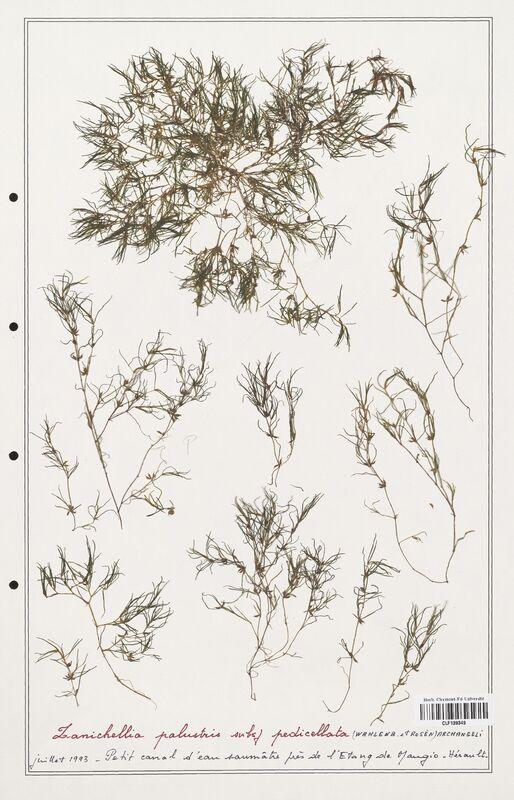 https://bibliotheque-virtuelle.bu.uca.fr/files/fichiers_bcu/Zannichelliaceae_Zanichellia_palustris_CLF139349.jpg