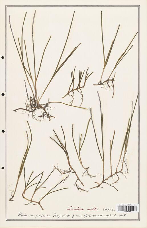 https://bibliotheque-virtuelle.bu.uca.fr/files/fichiers_bcu/Zosteraceae_Zostera_noltii_CLF139353.jpg