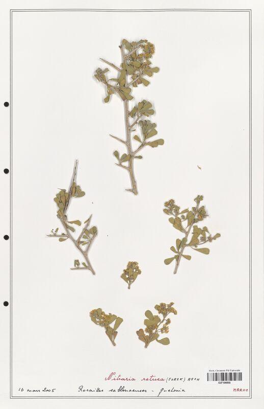 https://bibliotheque-virtuelle.bu.uca.fr/files/fichiers_bcu/Nitrariaceae_Nitraria_retusa_CLF139355.jpg