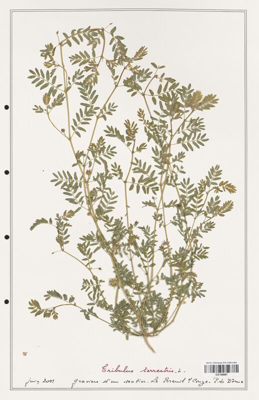 https://bibliotheque-virtuelle.bu.uca.fr/files/fichiers_bcu/Zygophyllaceae_Tribulus_terrestris_CLF139357.jpg