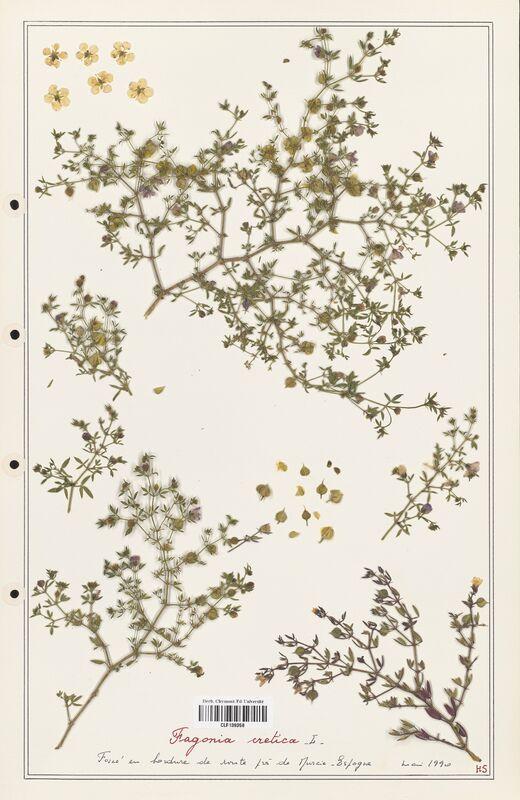 https://bibliotheque-virtuelle.bu.uca.fr/files/fichiers_bcu/Zygophyllaceae_Fagonia_cretica_CLF139358.jpg