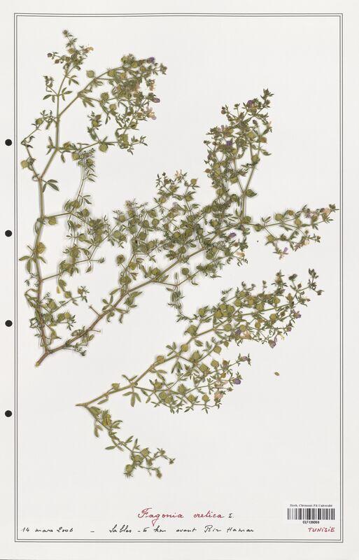https://bibliotheque-virtuelle.bu.uca.fr/files/fichiers_bcu/Zygophyllaceae_Fagonia_cretica_CLF139359.jpg