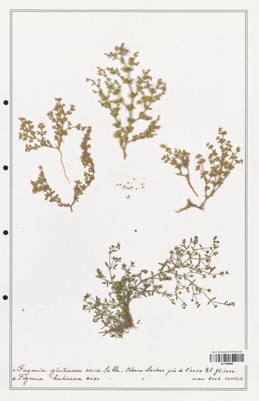 https://bibliotheque-virtuelle.bu.uca.fr/files/fichiers_bcu/Zygophyllaceae_Fagonia_glutinosa_CLF139360.jpg