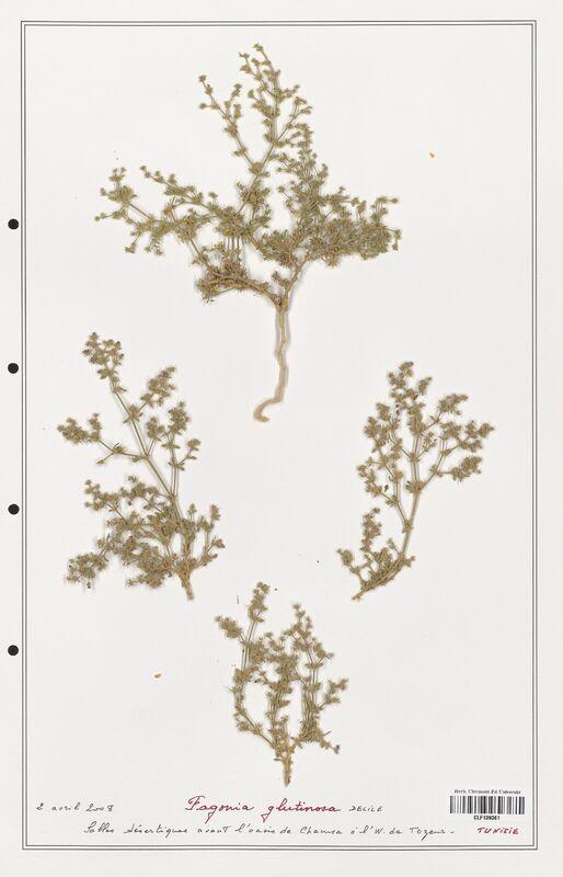 https://bibliotheque-virtuelle.bu.uca.fr/files/fichiers_bcu/Zygophyllaceae_Fagonia_glutinosa_CLF139361.jpg