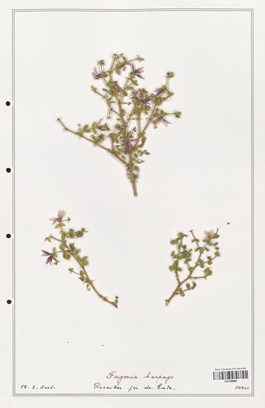 https://bibliotheque-virtuelle.bu.uca.fr/files/fichiers_bcu/Zygophyllaceae_Fagonia_harpago_CLF139363.jpg