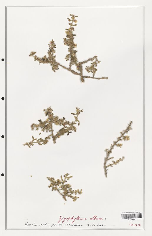 https://bibliotheque-virtuelle.bu.uca.fr/files/fichiers_bcu/Zygophyllaceae_Zigophyllum_album_CLF139368.jpg