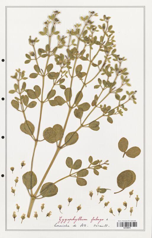 https://bibliotheque-virtuelle.bu.uca.fr/files/fichiers_bcu/Zygophyllaceae_Zigophyllum_fabago_CLF139370.jpg