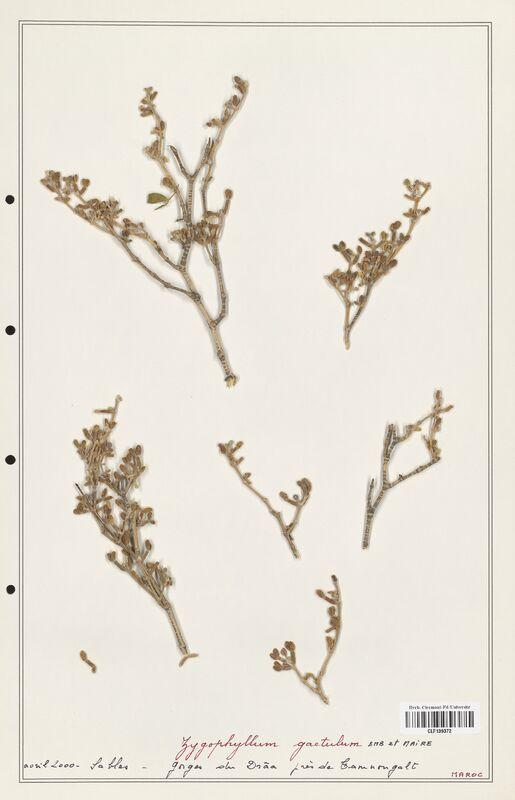 https://bibliotheque-virtuelle.bu.uca.fr/files/fichiers_bcu/Zygophyllaceae_Zigophyllum_gaetulum_CLF139372.jpg