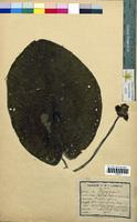 Nuphar lutea (Nymphaeaceae)