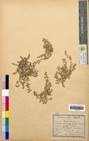 Herniaria glabra (Illecebraceae)
