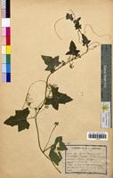 Bryonia dioica (Cucurbitaceae)