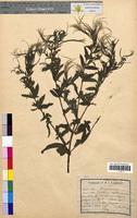 Epilobium montanum (Onagraceae)