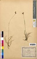 Luzula campestris (Juncaceae)