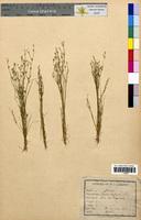 Juncus bufonius (Juncaceae)