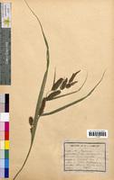 Carex vesicaria (Cyperaceae)