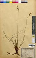 http://bibliotheque-virtuelle.clermont-universite.fr/files/fichiers_bcu/Carex_pilulifera_CLF094530.jpg