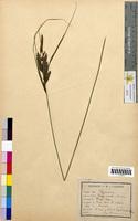Carex acuta (Cyperaceae)