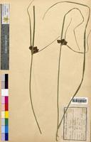Scirpus maritimus (Cyperaceae)