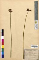 Scirpus lacustris (Cyperaceae)