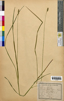 Scirpus compressus (Cyperaceae)