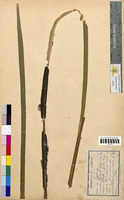 Typha latifolia (Typhaceae)