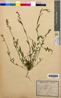 Polygala vulgaris (Polygalaceae)